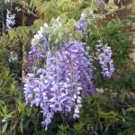 wisteria 1